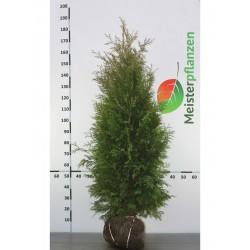 Lebensbaum Thuja Brabant 140-160 cm, Wurzelballen | Gardline