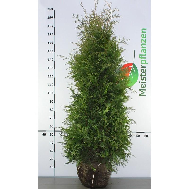 Lebensbaum Thuja Brabant 160-180 cm, Wurzelballen | Gardline