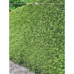 Lebensbaum Thuja Brabant 200-225 cm, Wurzelballen | Gardline