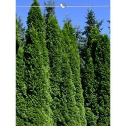 Lebensbaum Smaragd 60-80 cm, Wurzelballen
