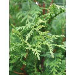 Lebensbaum Thuja plicata Atrovirens 60-80 cm, Wurzelballen | Gardline