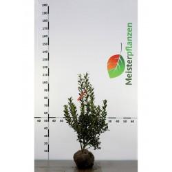 Stechpalme Heckenpracht 60-80 cm, Wurzelballen