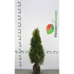 Lebensbaum Smaragd 80-100 cm, Wurzelballen