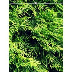Lebensbaum Smaragd 100-120 cm, Wurzelballen