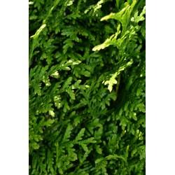 Lebensbaum Thuja Brabant 100-120 cm, Wurzelballen | Gardline