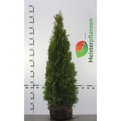 Lebensbaum Smaragd 120-140 cm, Wurzelballen