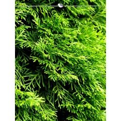 Lebensbaum Smaragd 160-180 cm, Wurzelballen