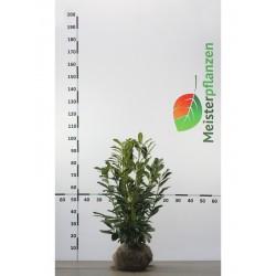 Kirschlorbeer Caucasica 40-60 cm, Wurzelballen