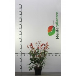 Glanzmispel Red Robin 40-60 cm, im Topf