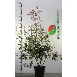 Glanzmispel Red Robin 100-125 cm, im Topf
