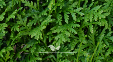 Lebensbaum Thuja Brabant kaufen | Gardline