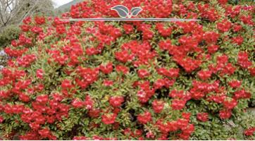 Rhododendren kaufen. Großes Angebot und Spitzenqualität