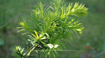 Gemeine Eibe Taxus baccata