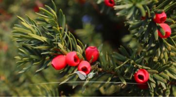 Fruchtende Bechereibe Taxus media Hicksii