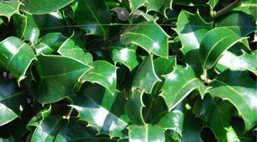 Stechpalme Heckenpracht kaufen; blickdichte Heckenpflanze