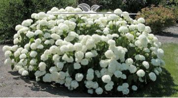 Hortensie Annabelle kaufen. Starke, weiße, schöne Blüte
