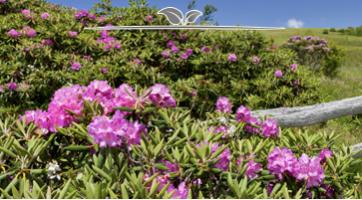 Pontische Rhododendron kaufen. Bunte, hübsche Heckenpflanze