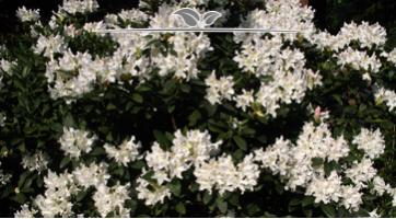 Rhododendron Cunninghams White kaufen, Spitzenqualität