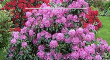 Rhododendron Roseum Elegans kaufen, Qualität und Günstig