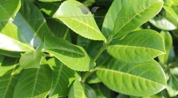 Immergrüner großblättriger Kirschlorbeer Rotundifolia kaufen