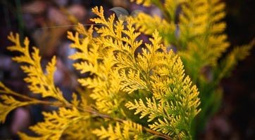 Lebensbaum Thuja Yellow Ribbon