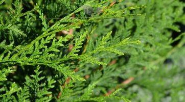 Lebensbaum Thuja plicata Atrovirens kaufen, elegant und immergrün