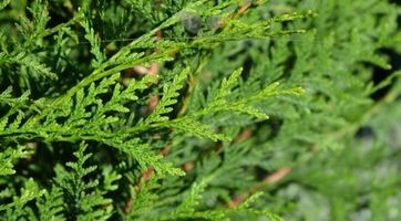 Lebensbaum plicata Atrovirens