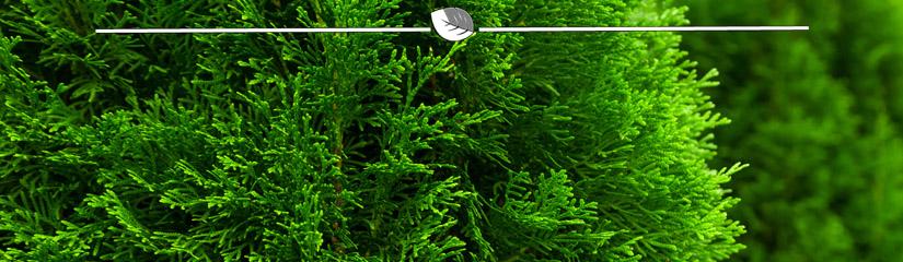 lebensbaum thuja smaragd kaufen gardline. Black Bedroom Furniture Sets. Home Design Ideas