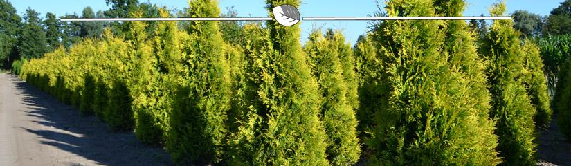 Lebensbaum Thuja Yellow Ribbon Kaufen - Gardline