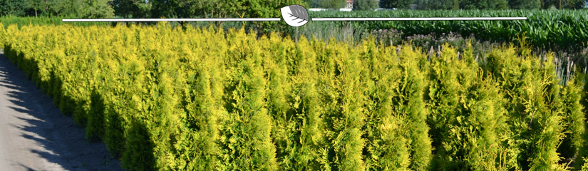 Lebensbaum Thuja Yellow Ribbon Pflanzen - Gardline
